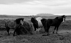 meet the natives! :) (lunaryuna (off to Iceland for 2 weeks)) Tags: horses bw monochrome animals season landscape blackwhite iceland spring solitude lunaryuna untamed southiceland icelandhorses barrenness