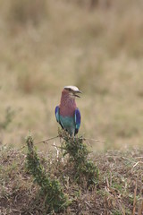 Lilac Breasted Roller (Una Lapaslow) Tags: nature birds wildlife safari lilacbreastedroller