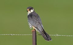 Amur Falcon (Falco amurensis) (Ian N. White) Tags: southafrica mpumalanga wakkerstroom amurfalcon falcoamurensis