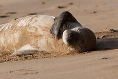 Hawaiian Monk Seal (Texas. Ranger) Tags: hawaii monk seal kauai kee keebeach monkseal