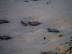 """Barbados Turtle-2 • <a style=""""font-size:0.8em;"""" href=""""http://www.flickr.com/photos/91306238@N04/23892199414/"""" target=""""_blank"""">View on Flickr</a>"""