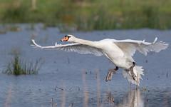Mute swan at Greylake (Steve Balcombe) Tags: uk bird inflight swan somerset mute levels rspb cygnus greylake olor