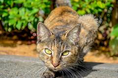 Emotions in the powerful eyes (Ryukyujin) Tags: city brown black animal japan cat eyes stare stray okinawa prey   ryukyu