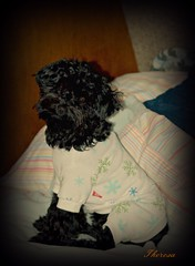 Ready for bed (bankst) Tags: black dogs bedtime yorkiepoo