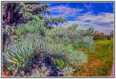 Nature - Pine Needles Vision. (Bill E2011) Tags: canada green nature leaves closeup pine canon pineneedles saskatoon buds saskatchewan needles