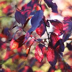 foliage (Stefano Rugolo) Tags: pentaxk5 autumn 2015 bokeh lazio italy squareformat borgosanpietro foliage smcpentaxm50mmf17 light plant colors red stefanorugolo