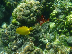 Yellow tang and urchin (microwavedboy) Tags: fish yellow island hawaii bay big cook snorkeling captain kealakekua urchin kona tang