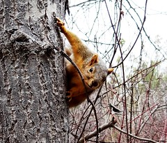 Getting a grip (EcoSnake) Tags: trees animals squirrels wildlife january rodents naturecenter easternfoxsquirrel idahofishandgame