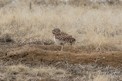 Burrowing Owl stretches