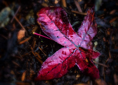 Leaves of Glass (Colormaniac too (Back & SLOWLY catching up)) Tags: autumn winter red nature beauty rain washington leaf state pacific northwest miracle sequim foliage collection textures age reflective nik olympic marvel filters peninsula jewel glassy sweetgum flypaper