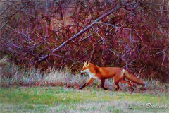 Red fox walking along edge of Canary Creek (stevebfotos) Tags: fauna creek wildlife telephoto impressions lewes topaz redfox canarycreek
