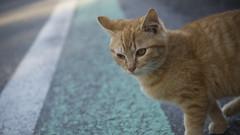 Cat Walk (rio_tc) Tags: japan cat olympus chiba pro  f28 em1 1240mm