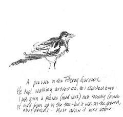 17Jan16 peewee (alissa duke) Tags: bird pee melbourne wee fitzroygardens