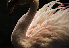 Mysterious Feathered One (Tracy Schuffenhauer) Tags: flamingo feathers mnzoo tropicstrail