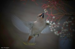 Waxwing in flight (2) - Bedfordshire (Alan Woodgate) Tags: