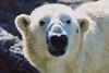 Masha (ucumari photography) Tags: ucumariphotography polarbear ursusmaritimus osopolar ourspolaire oursblanc oso bear animal mammal nc north carolina zoo niedźwiedźpolarny الدبالقطبي 北极熊 jääkarhu eisbär ísbjörn orsopolare シロクマ полярныймедведь 북극곰 march 2003 masha nikond70 specanimal 北極熊