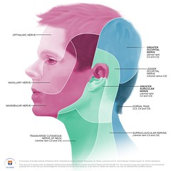 Dermatome map of head by Annie Campbell (dundeetilt) Tags: illustration map medical anatomy ear dermatome universityofdundee medicalillustration medicalart