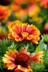 Flowers (EC-Curious) Tags: photostream