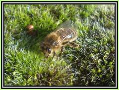Moisture from Moss (Margaret Edge the bee girl) Tags: winter sun plant macro green wet insect moss wings drinking honeybee apismellifera