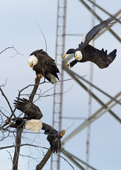 Altercation (AmyBaker0902) Tags: river mississippi fight eagle lock dam 14 bald iowa leclaire