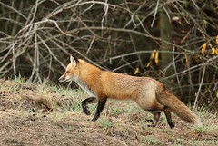 RED FOX (sea25bill) Tags: california morning winter light red nature field animal wildlife fox carnivore vulpesvulpes