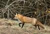 RED FOX (sea25bill) Tags: california morning winter light red nature field animal wildlife fox carnivore vulpesvulpes