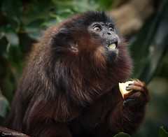 Surprise !!! (Steve Wilson - over 8 million views Thanks !!) Tags: red southamerica zoo monkey amazon nikon rainforest cheshire eating central chester jungle tropical primate titi centralamerica chesterzoo omnivore redtitimonkey d7000 nikond7000