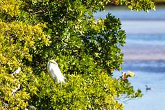 Great egret (cricketsblog) Tags: greg aves ardea animalia greategret greatwhiteegret ardeidae ardeaalba pelecaniformes chordata vertebrata garabrancagrande commonegret silberreiher garzablanca garcetagrande grandeaigrette agrblanc taxonomy:class=aves aironebiancomaggiore taxonomy:kingdom=animalia taxonomy:phylum=chordata taxonomy:subphylum=vertebrata taxonomy:order=pelecaniformes taxonomy:family=ardeidae taxonomy:genus=ardea taxonomy:species=alba taxonomy:binomial=ardeaalba taxonomy:common=greategret taxonomy:common=greatwhiteegret taxonomy:common=commonegret taxonomy:common=garabrancagrande   taxonomy:common=garzablanca  taxonomy:common=grandeaigrette taxonomy:common=silberreiher taxonomy:common=greg taxonomy:common=garcetagrande  taxonomy:common=aironebiancomaggiore taxonomy:common=agrblanc taxonomy:common= taxonomy:common= taxonomy:common= taxonomy:common=