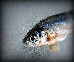 IMG_7060 (Mat_B) Tags: park blue winter red lake fish cold color detail macro eye nature water yellow dead photography natural state walk january hills scales area minnow moraine thaw gills defiance 2016