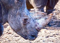 Rhinoceros (Hans van der Boom) Tags: netherlands animal nederland rhino nl rhinoceros safaripark beeksebergen noordbrabant hilvarenbeek hilarenbeek