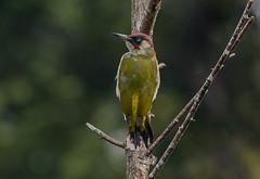 DSC_7336 Woody... (jefflack Wildlife&Nature) Tags: nature birds woodpecker woodlands wildlife farmland wetlands woodpeckers avian greenwoodpecker wildbirds