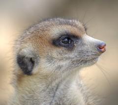 Portrait of a Meerkat (madbesl) Tags: portrait eye face animal munich mnchen meerkat nikon portrt tierpark auge suricatasuricatta erdmnnchen hellabrunn d5100 nikkor55300