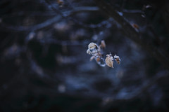 (HANAZONO) Tags: blue winter snow cold tree nature leaves japan forest canon dead eos japanese hanazono bokeh chestnut ef85mm f12l