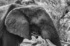 Te observo (Consuelo Vergara Mendez) Tags: elephant sudafrica