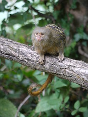 Ouistiti pygmée (cassiopeeh) Tags: monkey parc vienne petit singes vallée ouistiti romagne pygmée