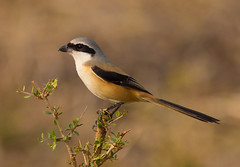 Long-tailed Shrike (Allan Drewitt) Tags: park india south ngc national shrike longtailed laniusschach mudumalai allandrewitt