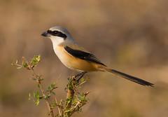 Long-tailed Shrike (Allan Drewitt) Tags: park india south ngc national shrike longtailed laniusschach mudumalai allandrewitt