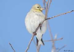 Goldfinch (female) - winter plumage. (PerfumeG2011 (off & on).) Tags: winter canada cold bird nature birds nikon goldfinch laval 2016 northamericanbirds winterplumage d7000 nikond7000 lavalqubec