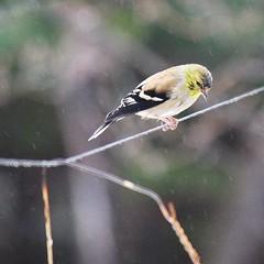 waiting in the rain for the Goldfinch feeder ~ HBW! (karma (Karen)) Tags: home topf25 birds backyard dof bokeh maryland baltimore squared 4winter hbw cmwdyellow bokehwednesdays
