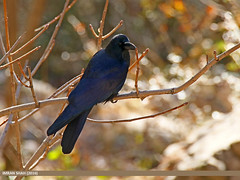 Large-billed Crow (Corvus macrorhynchos) (gilgit2) Tags: pakistan birds fauna canon geotagged wings wildlife feathers tags location species tamron category avifauna abbottabad kpk corvusmacrorhynchos khairagali imranshah canoneos7dmarkii largebilledcrowcorvusmacrorhynchos tamronsp150600mmf563divcusd gilgit2