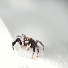 Sauteuse (Sehne.G - Photographie) Tags: spider saltique araignesauteuse
