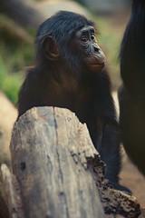 Tell Your Friends (Oddernod) Tags: baby nature face animal canon zoo eyes sandiego outdoor wildlife tokina daytime sandiegozoo bonobo greatape babyanimal tokina10028macro canont2i