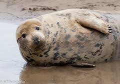 Bathing belle.... (Jeff Derbys) Tags: seals donnanook lincolnshirewildlifetrust