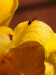 Candle Bush Flower With Visitor (Drriss & Marrionn) Tags: flowers usa plant flower macro animal animals closeup insect flora backyard pattern texas bright wildlife ant insects ants rowlett caesalpiniaceae candletree rowletttx fabales cassiaalata spermatopsida organicpattern candlebush empresscandleplant ringwormtree sennaalata candlestickcassia candelabraplant cassiabracteata cassiaherpetica herpeticaalata
