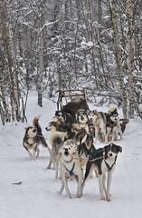 Ready to go - Swedish Lapland (cotnari73) Tags: winter snow sweden sleddog keijo lule brnd hundspann bothnia swedishlapland nikumaa