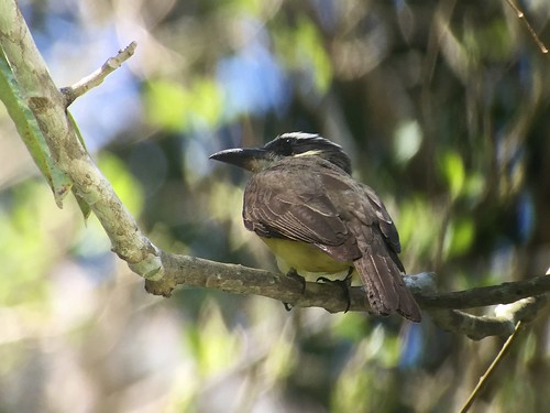 Boat-billed Flycatcher - Lamanai Maya site, Orange Walk, BZ - Mar 24, 2016