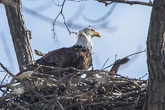 EAGLET - TINY WING STRETCH (nsxbirder) Tags: baldeagle indiana haliaeetusleucocephalus eaglet brookville whitewaterriver leveeroad wingstretch
