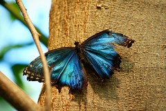 Damaged, Still Beautiful (thisbrokenwheel) Tags: blue butterfly insect wing bluemorpho pollinator