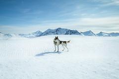 Le Chien. (Matthieu Robinet Photography) Tags: winter light shadow dog chien white snow alpes french landscape husky wolf alone quiet escape peaceful bluesky loup neige paysage sunnyday snowscape