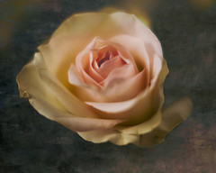 Rose (Georg Engh) Tags: flower rose blomst diamondclassphotographer flickrdiamond